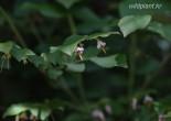 산매자나무