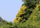 모감주나무