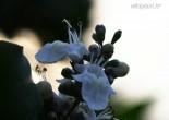 순비기나무